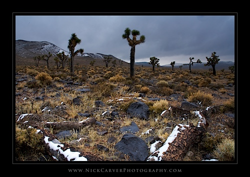 Joshua Trees in Snow - Death Valley National Park, CA