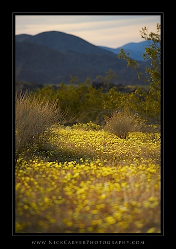 Desert Dandelions in Joshua Tree National Park