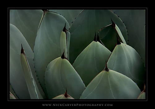 Parry's Agave (agave parryi) at the Fullerton Arboretum