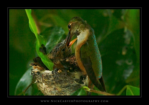 Hummingbird Feeding Her Young