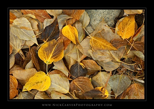 Birch Tree Leaves