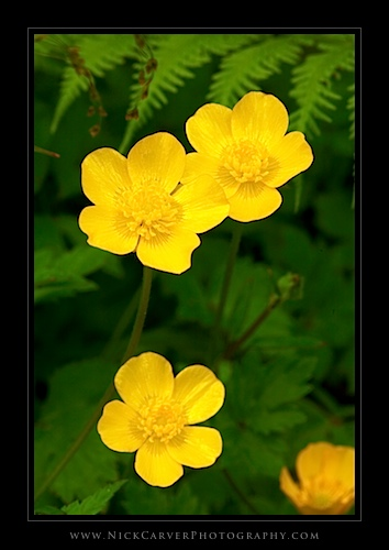 Creeping Buttercup wildflowers in the Quinault Rain Forest