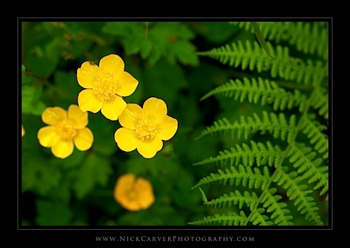 Creeping Buttercup wildflowers and Lady Fern in the Quinault Rain Forest