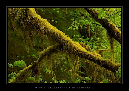 Cat-Tail Moss on a branch in The Hoh Rain Forest - Olympic National Park, WA