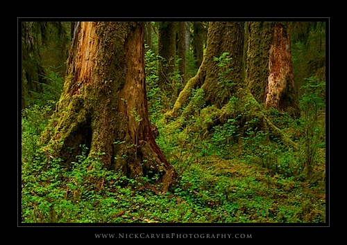 Tree Trunks in The Hoh Rain Forest - Olympic National Park, WA