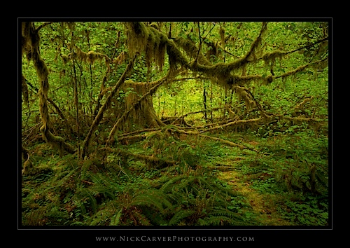 Moss-Covered Branches and Sword Ferns in the Hoh Rain Forest