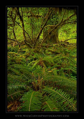Sword Ferns in The Hoh Rain Forest - Olympic National Park, WA