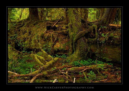 Trees on a Nurse Log in the Hoh Rain Forest - Olympic National Park, WA