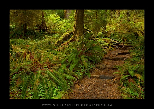 Hall of Mosses in the Hoh Rain Forest - Olympic National Park, WA