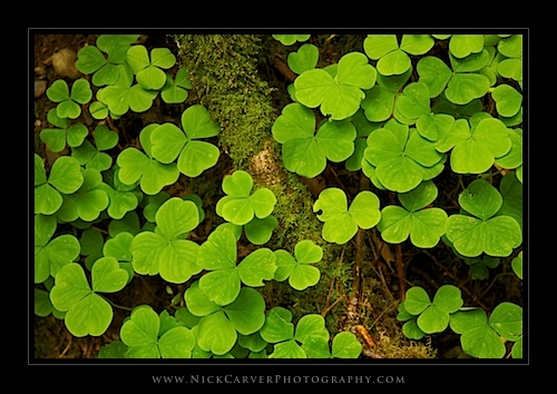 Oxalis Near Merriman Falls - Olympic National Forest, WA