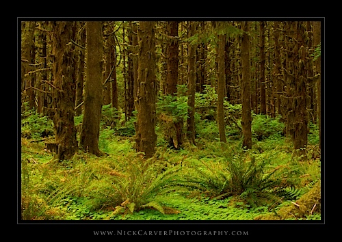 Quinault Rain Forest - Olympic National Forest, WA