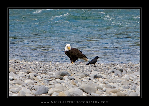 Bald Eagle on the Banks of the Quinault River, WA