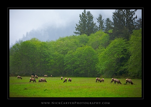 Grazing Elk - Olympic National Forest, WA